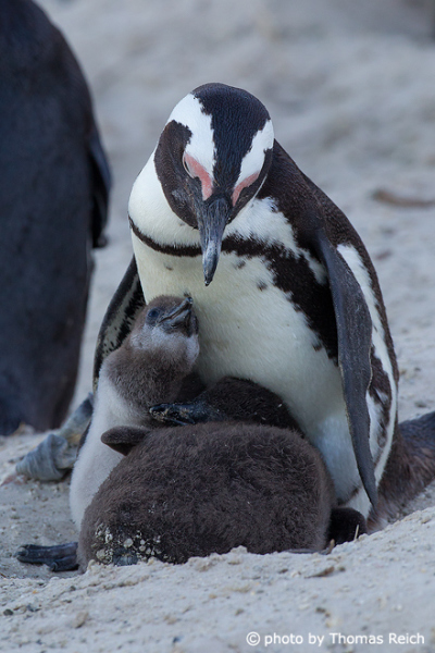 African Penguin with juveniles at the nest