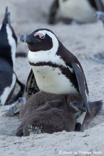 African Penguin with baby