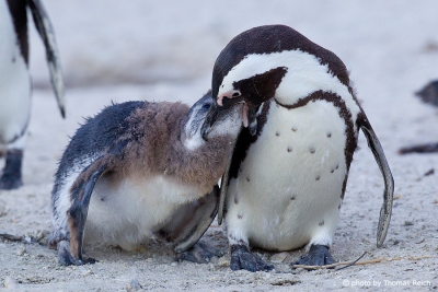 African Penguin feeds chick
