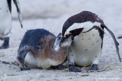 African Penguin Food