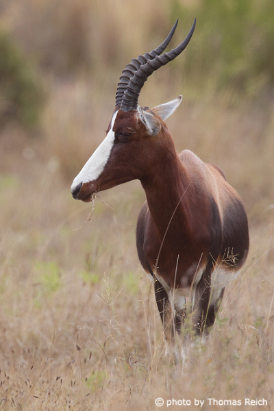 Bontebok, Western Cape, South Africa