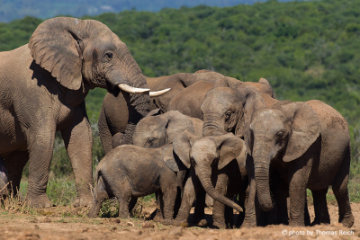 African Bush Elephants in South Africa