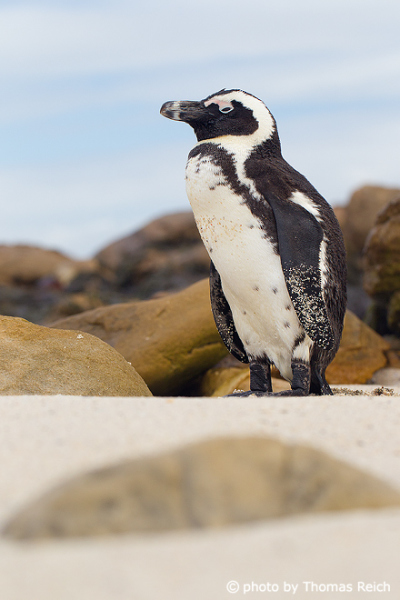 African Penguin distribution in Africa