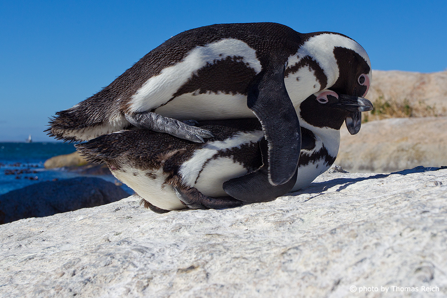 Mating African Penguins