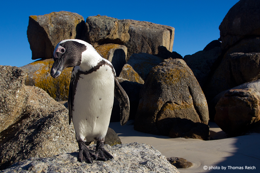 Brillenpinguin in Boulders Beach
