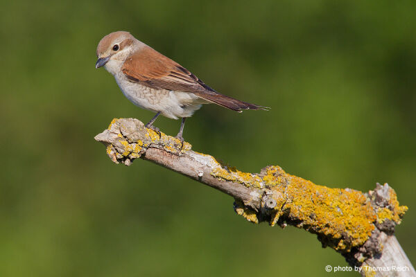 Female Red-backed Shrike  sitting on a branch