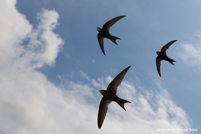 Group Common Swifts