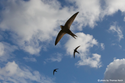 Common Swifts flying in the sky