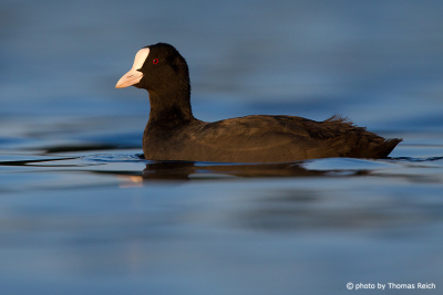 Eurasian Coot swimming in lake