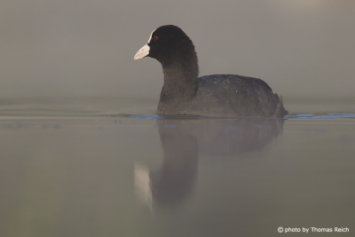 Eurasian Coot in the morning mist