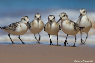 Gruppe Sanderling am Meer