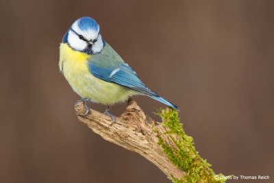 Eurasian Blue Tit yellow feathers