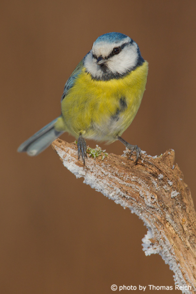 Eurasian Blue Tit perching on a snowy branch