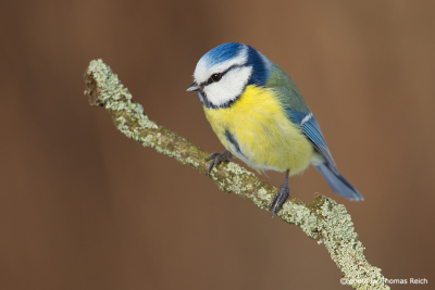 Eurasian Blue Tit blue and yellow plumage