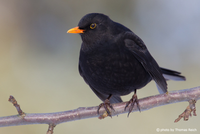 Male Common Blackbird sitting on a tree branch
