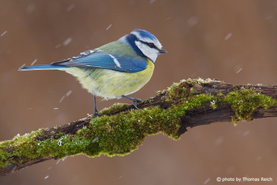 Eurasian Blue Tit in winter