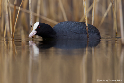 Eurasian Coot in autumn