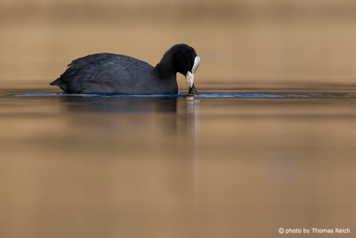 Eurasian Coot search for food