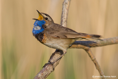 Bluethroat sitting on tree branch