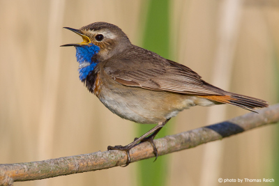 Bluethroat sound