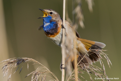 Bluethroat calling for females