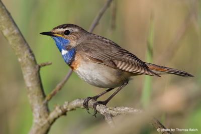 Bluethroat Range