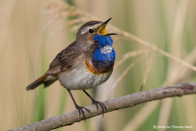 Bluethroat habitat