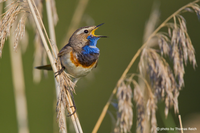 Bluethroat call