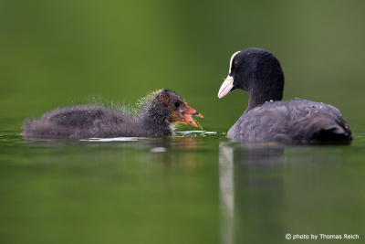 Small Eurasian Coot eating