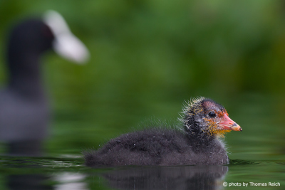 Eurasian Coot chick with mother