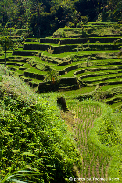 Big Rice terraces in Ubud, Bali