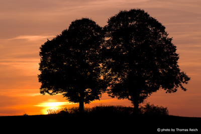 European beeches and sunset