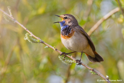 Bluethroat singing in the morning