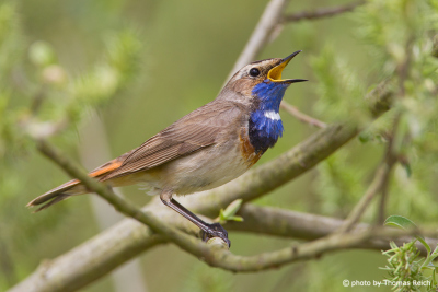 Bluethroat in the bushes
