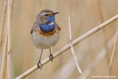 Bluethroat information