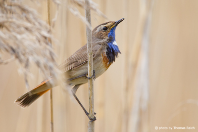 Bluethroat breeding in reeds