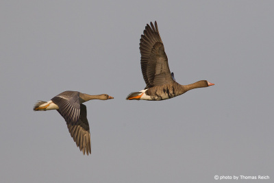 Greater White-fronted Geese in flight, Germany