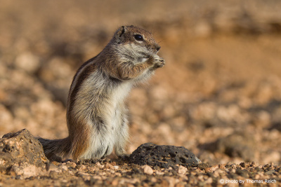 Barbary Ground Squirrel eating, Canary Islands