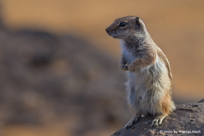 Barbary Ground Squirrel stands