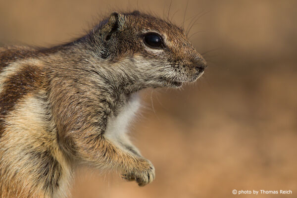 Barbary Ground Squirrel portrait