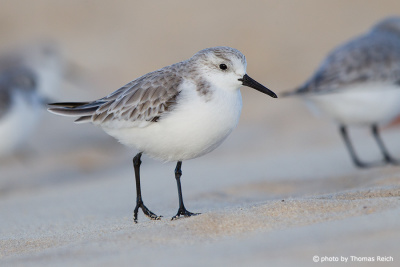 Sanderling Gefieder