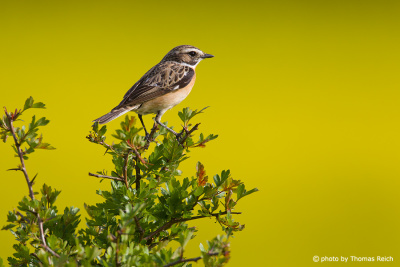 Adult male Whinchat