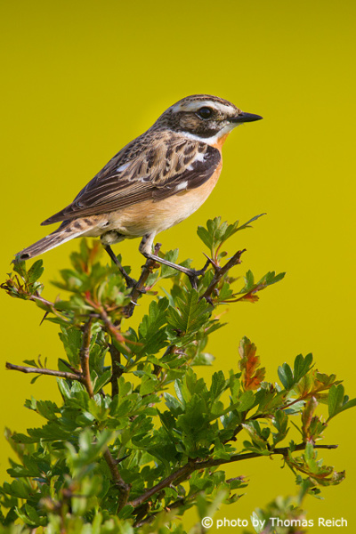 Whinchat sitting after flying