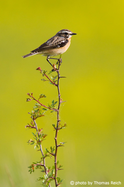 Whinchat in spring time