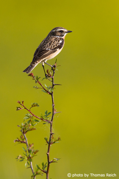 Whinchat in Germany