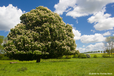 Blooming horse chestnut in spring