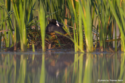 Eurasian Coot breeding