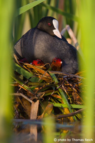 Eurasian Coot family with two chicks