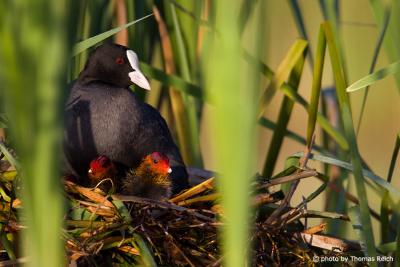 Eurasian Coot with chicks on nest