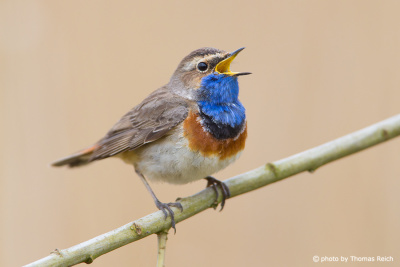 Bluethroat voice